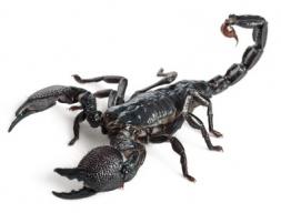 Императорский скорпион (Pandinus imperator)