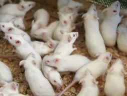 Мышь кормовая лабораторная (взрослая живая) 10 шт.