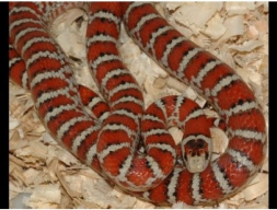 Королевская змея Кноблоха