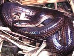 Лучистая змея(Xenopeltis unicolor)