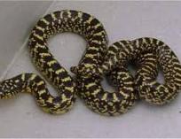 Королевская змея великолепная