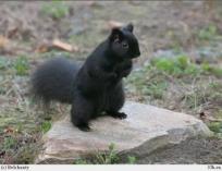 Белка черная (Канада)