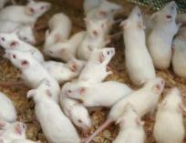 Мышь кормовая (бегунок живая ) 10 шт.