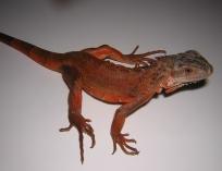 Игуана обыкновенная красная (с)